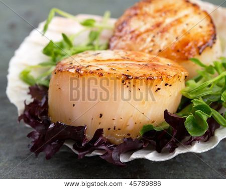 Studio closeup of seared scallops, garnished with pea shoots and served on a bed of green and purple curly lettuces, presented on a scallop shell.