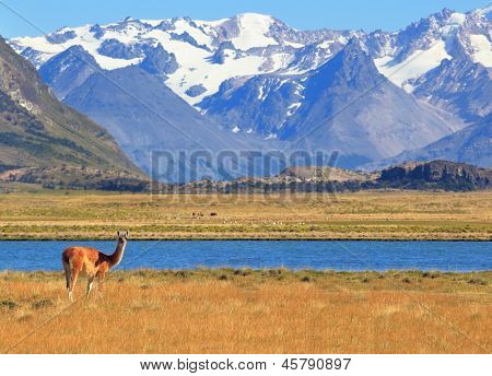 Patagonia. Harmonious landscape - yellow field, blue lake and snow-capped mountains. On the banks of guanacos grazing