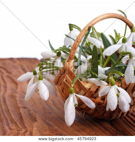 Snowdrop flowers in a basket close-up on wooden table
