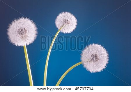 Three Dandelion Blowballs Blue