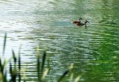 foto of great crested grebe  - Great crested grebe couple swimming on the surface of a lake - JPG