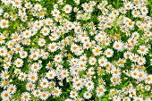 foto of oxen  - camomile oxeye daisy meadow background - JPG