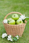 Ripe green apples in basket on green grass
