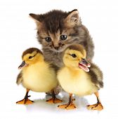 stock photo of puss  - Small kitten and ducklings isolated on white - JPG