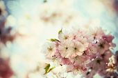 stock photo of orchard  - Vintage photo of white cherry tree flowers in spring - JPG