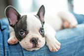 image of french bulldog puppy  - French bulldog puppy - JPG