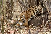 stock photo of tiger cub  - Tiger Cub - JPG