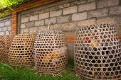 pic of game-cock  - Fighter cocks in cages ready for action - JPG