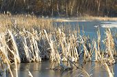 image of bull rushes  - Snow covered Cattails on a late spring day - JPG