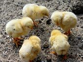 image of douceur  - Council of Baby Chicken - JPG