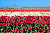pic of windmills  - colorful tulip fields and Dutch windmill in North Holland