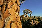 """stock photo of 24th  - This Picture was taken on the 24th of November in Keetmanshoop in Namibia.  Alittle area called the \""""Quiver Tree Forest\"""". It\"""