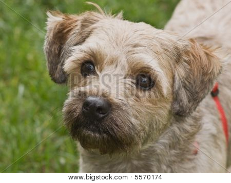 Cairn Terrier Mix Breed Dog Outdoors
