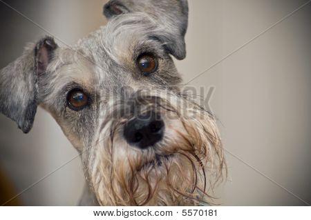 Miniature Schnauzer Dog With Brown Eyes