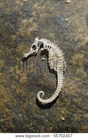 Skeleton Of A Sea Horse