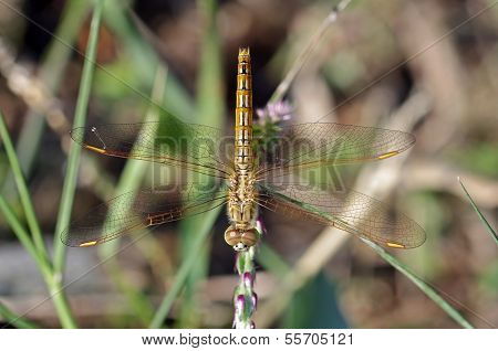 Common Amberwing dragonfly