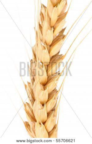 Ear of wheat. Macro.