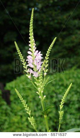 Fizostegiya Physostegia virginiana plant with pink inflorescence