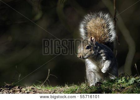 A Grey Squirrel (Sciurus carolinensis) caught in a shaft of sunlight.