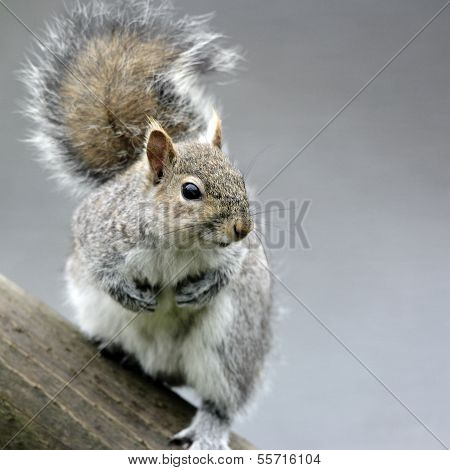 A portrait of a Grey Squirrel(Sciurus carolinensis).