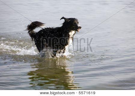 Dog - Running In Water