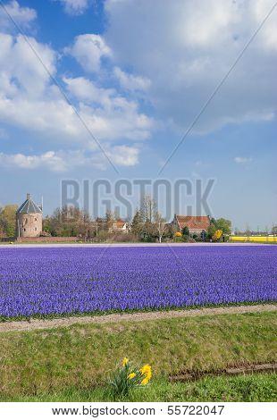 Flower Field,Lisse,Netherlands,Benelux