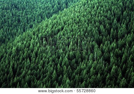 Forrest of green pine trees on mountainside with late afternoon sunlight