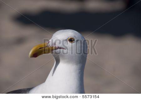 Seagull Head