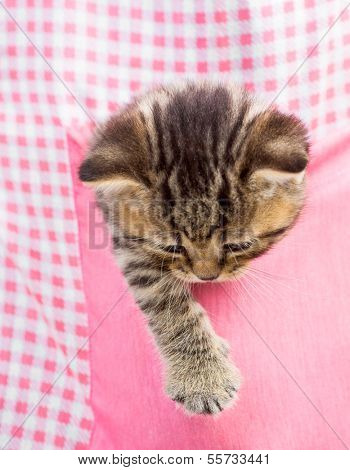 kitten cat in pink pocket