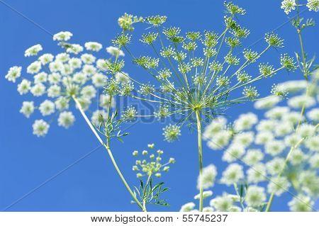 Elderflowers And Buds