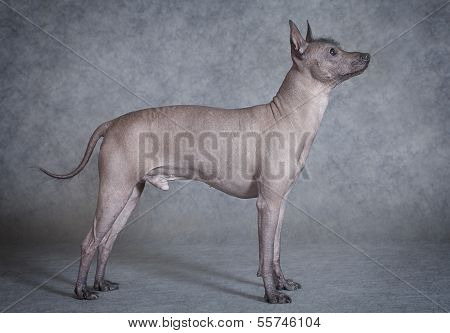 Hairless Xoloitzcuintle Male Dog Against Grey Background