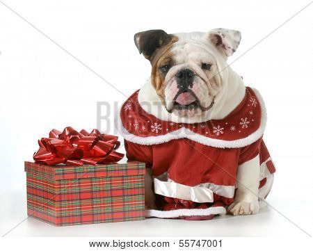 bull humbug - english bulldog making sour expression sitting beside wrapped christmas gift
