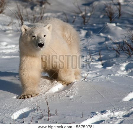 Cute Polar Bear Cub