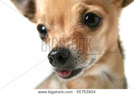 a close up of a chihuahua's face (focus on the wet nose)