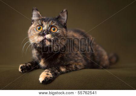 Beautiful tortoiseshell cat with yellow eyes lying on blanket