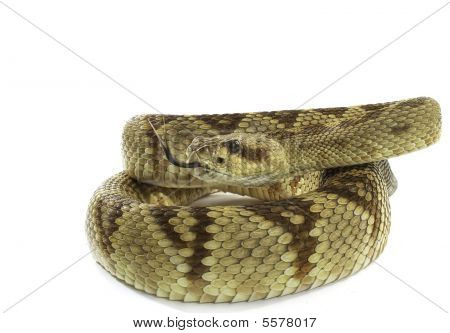 Black Tailed Rattlesnake