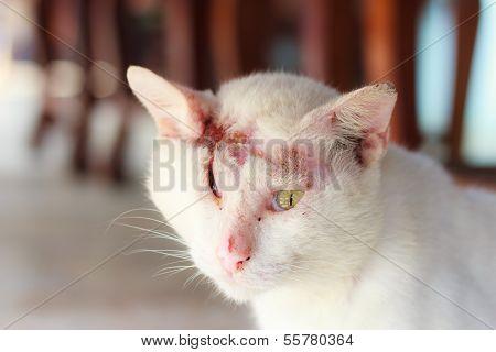 weiße Katze verletzt