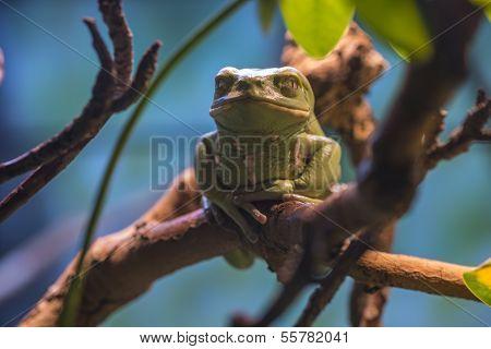 Wax Tree Frog - Hyperoliidae