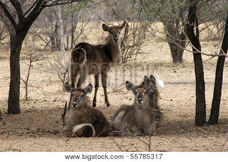 Herd Of Alert Waterbuck Listening