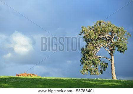 große Gummi-Baum