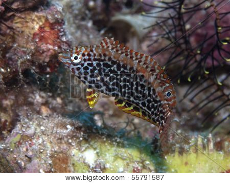 Blackspotted Wrasse