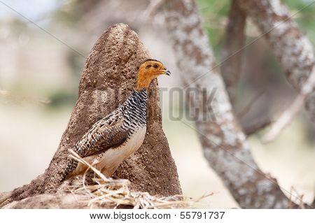 African bird: Coqui Francolin
