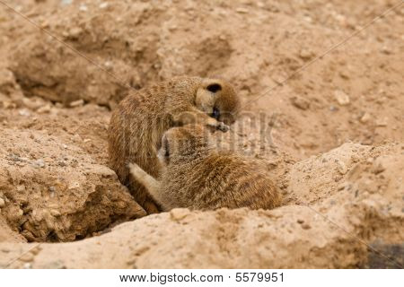 Two Young Meerkats Playing