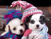 stock photo of chihuahua  - chihuahua puppies couple wearing a knit hat - JPG