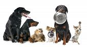 picture of doberman pinscher  - hungry pets in front of a white background - JPG