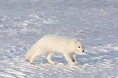 picture of arctic fox  - An arctic fox searches for food in the snow near Churchill Manitoba - JPG