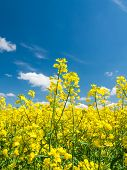picture of rape-seed  - Oil seed rape field under the blue sky with little clouds