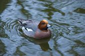 picture of crested duck  - Beautiful exotic duck in the calm water - JPG