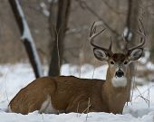 stock photo of bucks  - A big buck laying down in the snow