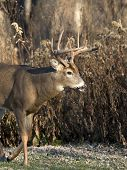 picture of deer rack  - A large Whitetail Deer walking on the frosty grass